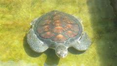 Sea turtle in basin - Sri Lanka 4k