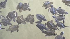 Baby turtles swimming in Turtle Hatchery - Sri Lanka 4k
