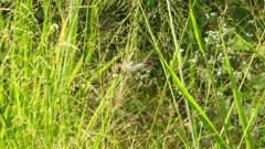 Corn Bunting bird eating grass seed (miliaria calandra)