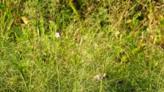 Corn Bunting birds in grass (miliaria calandra)