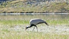 demoiselle crane bird walking in grass