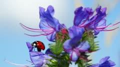 ladybug on blue flower - macro shot