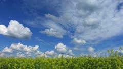 beautiful flowering rapeseed field under blue sky - timelapse 4k