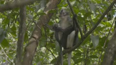 Baby Thomas Leaf Monkey jumping around in trees climbs up to its Mother