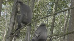 Group of Thomas Leaf Monkeys amongst the trees; one feeds on banana; a mother and baby leap onto another tree.