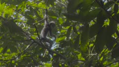 Two baby Thomas Leaf Monkeys play fighting and climbing in a tree