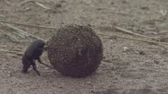 Dung Beetle rolling a ball of dung across the ground