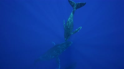 Young humpback whale dives down to two other whales
