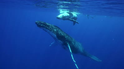 humpback whales, mother and calf at the surface