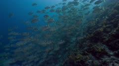 Spawning aggregation of Sailfin Snapper