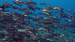 Large number of Red Snappers swim over a reef as part of their spawning aggregation
