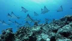 School of spotted eagle rays swim over reef