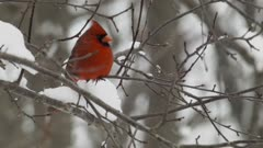 Northern Cardinal perches on snowy branch