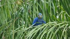 Hyacinth Macaw in a palm tree