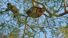 Pair of female Black Howler monkeys
