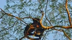 Female and baby Black Howler Monkeys
