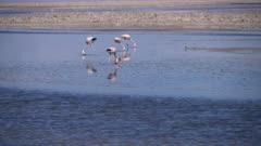 Andean and Chilean Flamingos in Atacama Salar