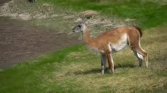 Guanaco grazing on grass