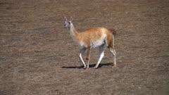 Guanaco walking on short grass