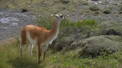 Zoom back from grazing Guanaco to mountain