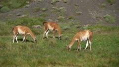 Three Guanacos grazing on grass