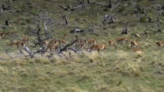 Pan to the right across large herd of Guanaco