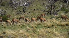 Pan to the left across large herd of Guanaco grazing