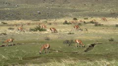 Large herd of Guanaco grazing on short grass