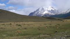 Large herd of Guanaco grazing with mountain background