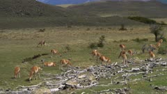 Pan up from large herd of grazing Guanaco to mountain
