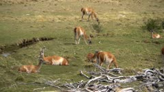 Grazing and resting Guanaco
