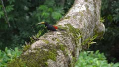 Many-banded Aracari Toucan feeding on insects