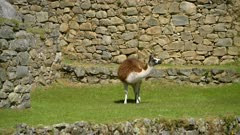 Llama grazing on Machu Picchu terrace