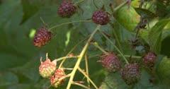 Blackberry Vine, Unripe Berries