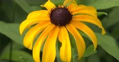 Brown-Eyed Susan, Wildflower, ZI to CU Flower Head