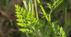 Fern-like Leaves of Wild Carrot