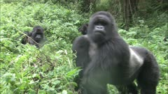 Mountain Gorillas, Second Adult Male Displays To Rival. Rwanda. 2009