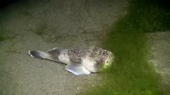 Stargazer (Uranoscopus sp.) swims and stops 5-5
