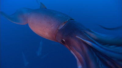 Giant Squid Video Stock Footage