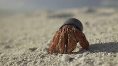 Hermit crab living in plastic bottle cap