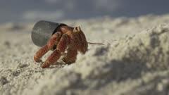 hermit crab living in bottle cap
