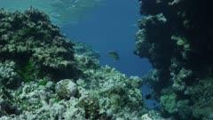 white tip reef shark swimming through crevasse towards camera