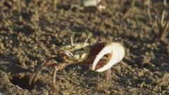 Fiddler crab display