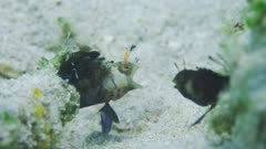 Signal Blennies Fighting
