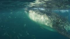 Whale Shark feeding on Plankton