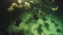 Swarm of Mobula Rays feeding on Mysid Shrimp