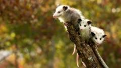 Virginia opossum, Didelphis virginiana, babies.