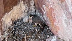 Peregrine falcon, Falco peregrinus.