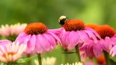 Bumblebee, Bombus, on a flower