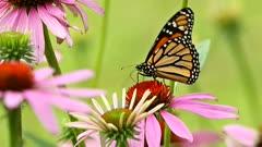 Monarch butterfly,Danaus plexippus feeding.